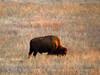 Bison, Wichita Mts NWR OK (2)