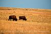Bison, Wichita Mts OK March (9)