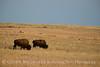 Bison, Wichita Mts OK March (12)