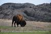 Bison, Wichita Mts OK March (16)