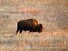 Bison, Wichita Mts NWR OK (1)