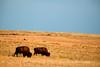 Bison, Wichita Mts OK March (10)