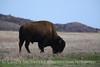Bison, Wichita Mts OK March (18)