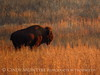 Bison, Wichita Mts NWR OK (5)