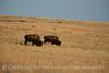 Bison, Wichita Mts OK March (11)