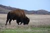 Bison, Wichita Mts OK March (17)