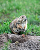 Blk-tailed prairie dog nursing female, OK (1)