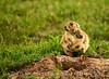 Blk-tailed prairie dog nursing female, OK (2)
