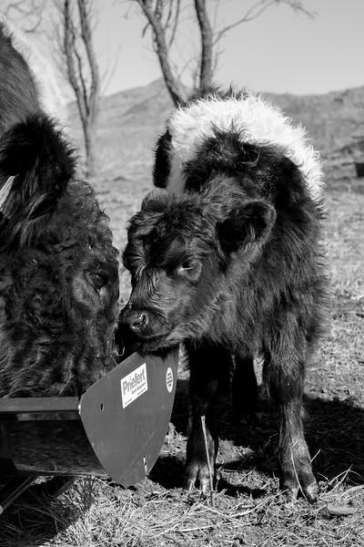 Belted Galloway cows at Buffalo Dream Ranch