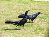 Great-tailed Grackles, OK (2)