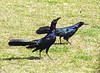Great-tailed grackle males