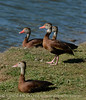 black-bellied whistling ducks, Lawton OK Oct 21, 2016