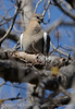 WhiteWing Dove Ft Sill (2)