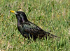 Starling Ft Sill