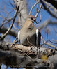 WhiteWing Dove Ft Sill (1)