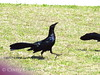 Great-tailed Grackles, OK (1)