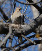 WhiteWing Dove Ft Sill (3)