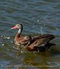 black-bellied whistling ducks, Lawton OK Oct 21, 2016