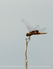 Red saddlebags, Boiling Springs SP OK (4)