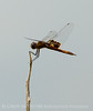 Red saddlebags, Boiling Springs SP OK (9)