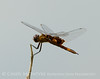 Red saddlebags, Boiling Springs SP OK (7)