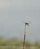 Red saddlebags, Boiling Springs SP OK (1)