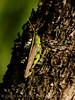 Big grasshoppers, SW OK (1)