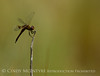 Red saddlebags, Central OK (6)