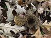 Bur oak acorns, Fort Sill OK (1)