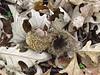 Bur oak acorns, Fort Sill OK (2)