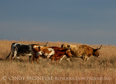 Longhorn Cattle Wichita Mts