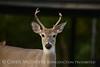 white-tail deer, OK (31)