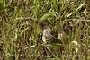 Water snake, Hackberry Flat OK (3)