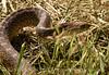 Water snake, Hackberry Flat OK (9)