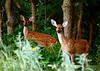 white-tail deer, OK (36)