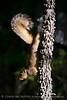 Eastern fox squirrel, OK (3)