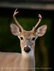 white-tail deer, OK (32)