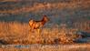 Elk, Wichita Mts NWR OK (4)