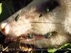 Dead opossum (2)