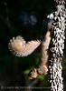 Eastern fox squirrel, OK (1)