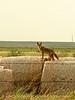 Coyote on hay bales, Hollister OK (1)