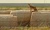 Coyote on hay bales, Hollister OK (2)