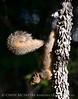Eastern fox squirrel, OK (2)