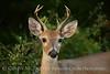 white-tail deer, OK (39)