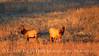Elk, Wichita Mts NWR OK (1)