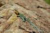 E collared lizard male, Wichita Mts OK (5)