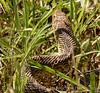Water snake, Hackberry Flat OK (5)