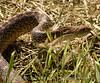 Water snake, Hackberry Flat OK (11)