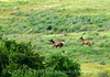 Cow elk and young, Wichita Mts OK (16)