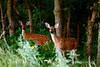 white-tail deer, OK (34)